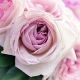 Plan rapproché rose de rose Photographie stock