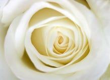 Plan rapproché rose de blanc photos libres de droits