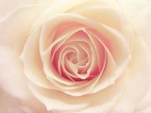 Plan rapproché rose de coeur de rose et de blanc Photo libre de droits