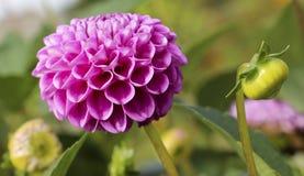 Plan rapproché rose de dahlia Images stock