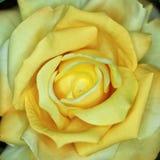 Plan rapproché rose de faux jaune vibrant, fond floral Image libre de droits