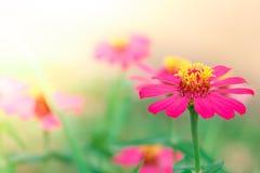 Plan rapproché rose de fleur Photo stock