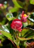 Plan rapproché rose de fleur de bégonia Photographie stock