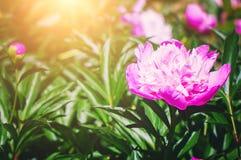 Plan rapproch? rose de fleur de pivoine dans les rayons lumineux du coucher de soleil Beau fond d'?t? photographie stock libre de droits