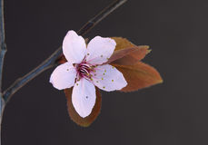 Plan rapproché rose de fleurs de cerisier Photographie stock libre de droits