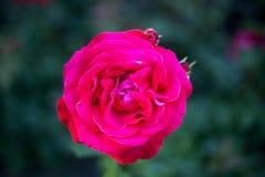 Plan rapproché rose de framboise Photos stock