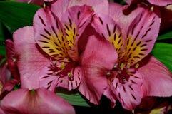 Plan rapproché rose de Lilys du jour deux Photographie stock