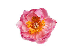 Plan rapproché rose de pivoine Photographie stock
