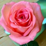 Plan rapproché rose de Rose de pêche Images libres de droits