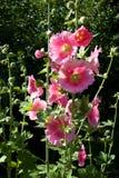 Plan rapproché rose de rose trémière Images libres de droits