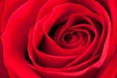 Plan rapproché rose de rouge Images stock