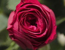 Plan rapproché rose de rouge Image stock