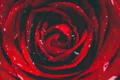 Plan rapproché rose de rouge images libres de droits