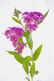 Plan rapproché rose de tinus de Viburnum Images libres de droits