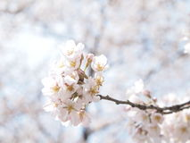 Plan rapproché rose mou de fleur de Sakura (cerise) photos libres de droits