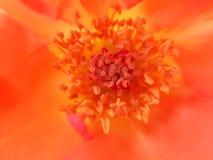 Plan rapproché rose orange de pollens photo libre de droits