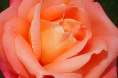 Plan rapproché rose rose-clair de belle fleur comme fond Photos stock