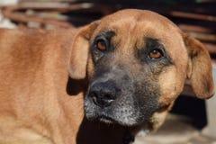 Plan rapproché rouge de chien Images stock