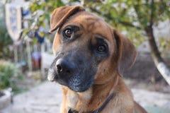 Plan rapproché rouge de chien Photo libre de droits