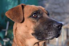 Plan rapproché rouge de chien Photos libres de droits
