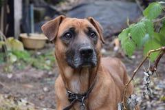 Plan rapproché rouge de chien Image libre de droits