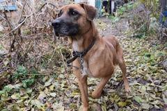 Plan rapproché rouge de chien Photos stock