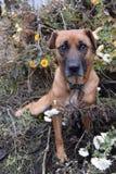 Plan rapproché rouge de chien Photographie stock libre de droits