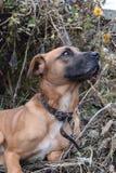 Plan rapproché rouge de chien Photo stock