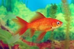 Plan rapproché rouge de comète de poisson rouge sur le fond des algues photos stock