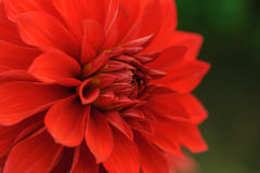Plan rapproché rouge de dahlia Photos stock
