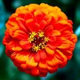 Plan rapproché rouge de fleur photographie stock libre de droits