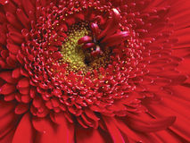 Plan rapproché rouge de fleur Photos stock
