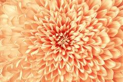 Plan rapproché rouge de fleur blanche de chrysanthème Macro Il peut être employé dans la conception et l'impression de site Web E Photo libre de droits