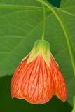 Plan rapproché rouge de fleur d'abutilon Photographie stock libre de droits