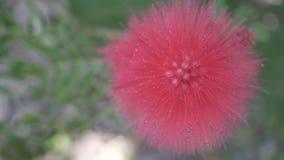 Plan rapproché rouge de fleur de boule Images libres de droits