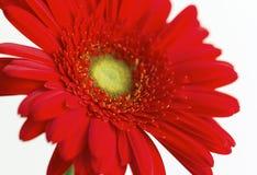 Plan rapproché rouge de fleur de gerbera Photos stock