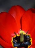 Plan rapproché rouge de fleur de tulipe Image stock