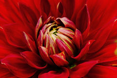 Plan rapproché rouge de fleur Macro dahlia Images libres de droits