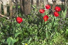 Plan rapproché rouge de floraison de tulipes Image libre de droits