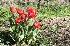 Plan rapproché rouge de floraison de tulipes Photo stock