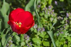 Plan rapproché rouge de floraison de tulipes Images stock