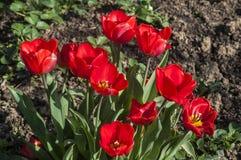 Plan rapproché rouge de floraison de tulipes Photos libres de droits