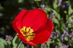 Plan rapproché rouge de floraison de tulipes Images libres de droits