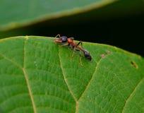 Plan rapproché rouge de fourmi Photographie stock libre de droits