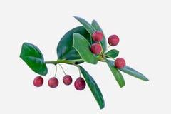 Plan rapproché rouge de fruit de houx Photo stock