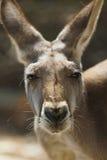 Plan rapproché rouge de kangourou Image libre de droits