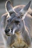 Plan rapproché rouge de kangourou Photos libres de droits