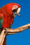 Plan rapproché rouge de Macaw images libres de droits