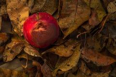 Plan rapproché rouge de pomme d'automne Images libres de droits