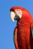 Plan rapproché rouge de tête de Macaw photo stock